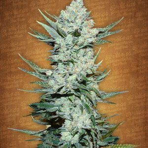 Fast Buds Tangie'matic female seeds