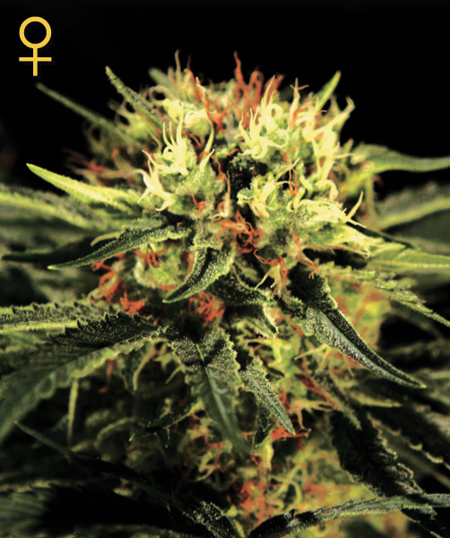 Greenhouse Seed Co. The Doctor female Seeds