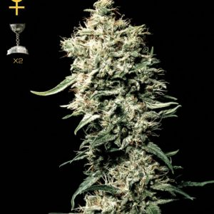 Nirvana Seeds White Rhino female Seeds