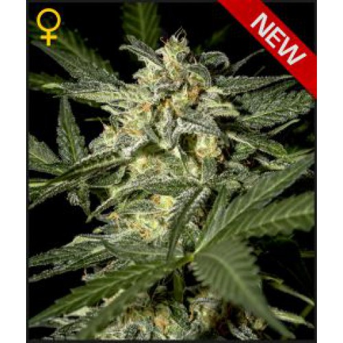 Royal Queen Seeds White Widow Automatic female seeds