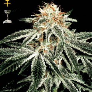 Greenhouse Seed Co. White Widow female Seeds
