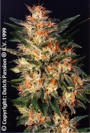 Dutch Passion White Widow female Seeds