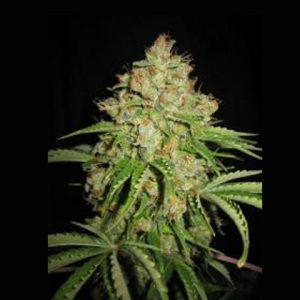 Lowlife seeds Auto white Russian female