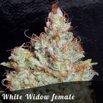 Discount Female Seeds White Widow female seeds